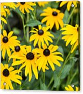 Black-eyed Susan Up Close Acrylic Print