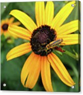 Black-eyed Susan With Soldier Beetle  Acrylic Print