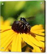 Black Eyed Susan With Wasp Acrylic Print