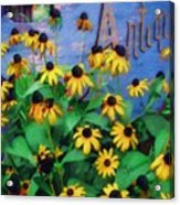 Black-eyed Susans At The Bag Factory Acrylic Print