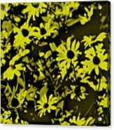 Black Eyed Susan's Acrylic Print