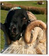 Black Faced Ram Acrylic Print