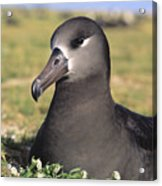 Black Footed Albatross Acrylic Print
