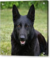Black German Shepherd Dog II Acrylic Print