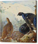 Black Grouse And Gamebirds By Thorburn Acrylic Print
