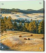 Black Hills Bison Before Sunset Acrylic Print