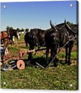 Black Horses With Sulky Plow Two  Acrylic Print