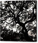 Black Jack Oak Acrylic Print