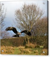 Black Kite Acrylic Print