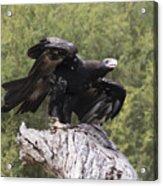 Black Kite Acrylic Print
