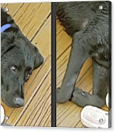 Black Lab - Gently Cross Your Eyes And Focus On The Middle Image Acrylic Print
