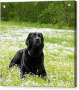 Black Lab Laying In A Field Acrylic Print