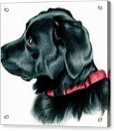 Black Lab With Red Collar Acrylic Print