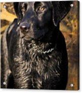 Black Labrador Retriever Dog Acrylic Print