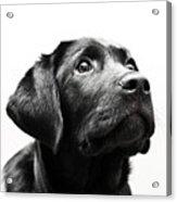 Black Labrador Retriever Potrait Acrylic Print
