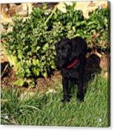 Black Labrador Retriever Puppy Acrylic Print