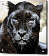 Black Leopard Acrylic Print