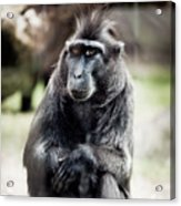 Black Macaque Monkey Sitting Acrylic Print