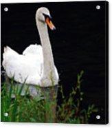 Black Mountain Swan Acrylic Print