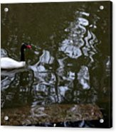 Black Neck Swan In Review Acrylic Print