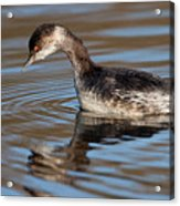 Black-necked Grebe About To Dive Acrylic Print