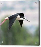 Black Necked Stilt In Flight Acrylic Print
