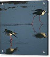 Black-necked Stilts - California Central Coast Acrylic Print