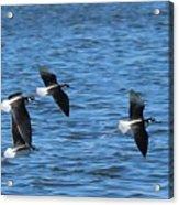 Black-necked Stilts In Flight - 2 Acrylic Print