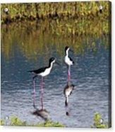 Black-necked Stilts Acrylic Print