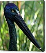 Black Necked Stork 1 Acrylic Print