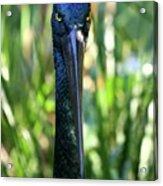 Black Necked Stork Acrylic Print