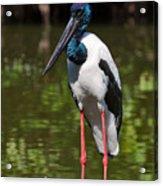 Black-necked Stork Acrylic Print