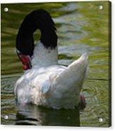 Black-necked Swan II Acrylic Print