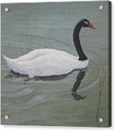 Black Necked Swan Acrylic Print