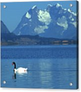 Black Necked Swan On Last Hope Sound Chile Acrylic Print
