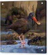 Black Oyster Catcher Acrylic Print