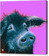 Black Pig Painting On Purple Acrylic Print