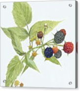 Black Raspberries Acrylic Print by Scott Bennett
