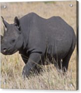 Black Rhino On The Masai Mara Acrylic Print