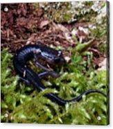 Black Salamander Acrylic Print