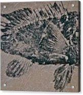 Black Sea Bass - Grouper - Rockfish Acrylic Print