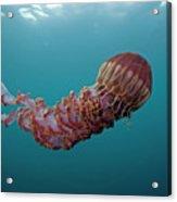 Black Sea Nettle Chrysaora Achlyos Acrylic Print