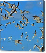 The Black Skimmers Acrylic Print
