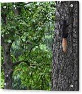 Black Squirrel With Blond Tail  Acrylic Print
