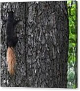Black Squirrel With Blond Tail Two  Acrylic Print