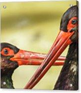 Black Storks Jerez De La Frontera Spain Acrylic Print