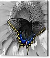 Black Swallowtail And Sunflower Color Splash Acrylic Print