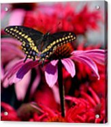 Black Swallowtail Butterfly On Coneflower Square Acrylic Print