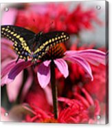 Black Swallowtail Butterfly With Coneflower And Monarda Acrylic Print