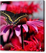Black Swallowtail Butterfly With Coneflowers And Bee Balm Acrylic Print